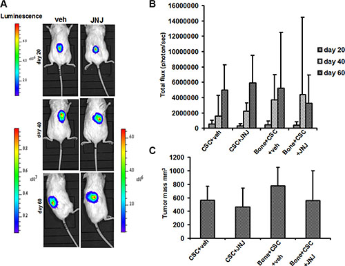 RCC stem cell growth and in vivo localization.