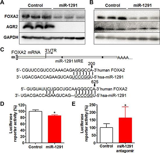 miR-1291 modulates AGR2 expression through targeting of FOXA2, a known transcriptional regulator of AGR2.