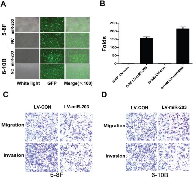 Overexpression of miR-4443 inhibit cell growth, migration