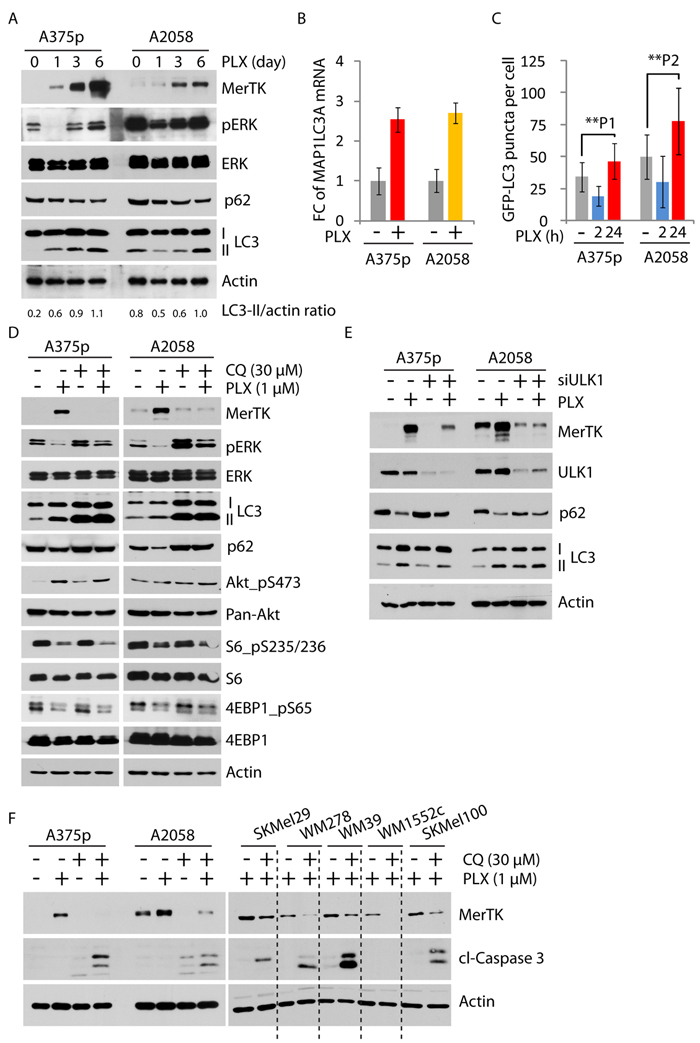 mTORC1/autophagy-regulated MerTK in mutant BRAFV600