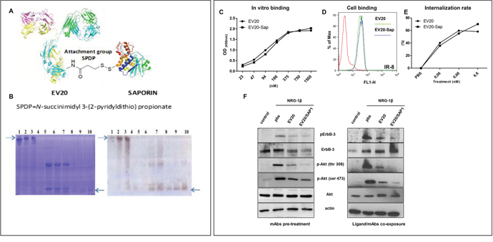 (PDF) EV20-Sap, a novel anti-HER-3 antibody-drug conjugate