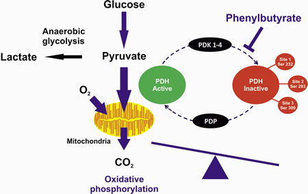 Figure1: The PDHC exists in an unphosphorylated active form or in a phosphorylated inactive form.