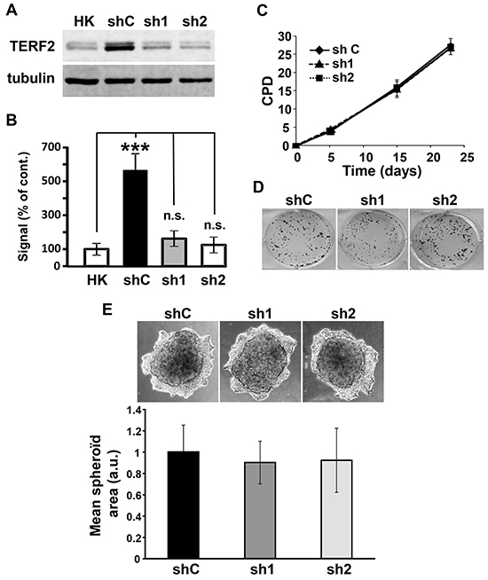 TERF2 down-regulation does not alter proliferation and invasion of CAL33 cells.