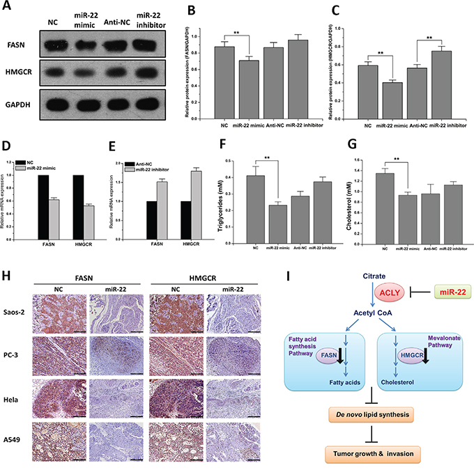 miR-22 reduces ACLY-mediated de novo lipid synthesis.