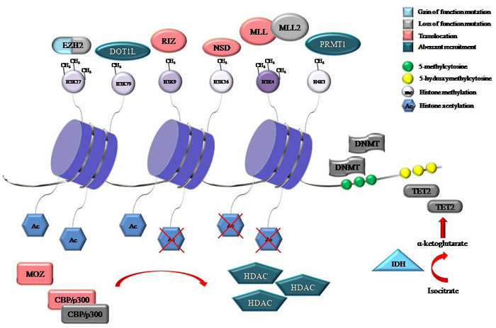 Representative proteins involved in DNA methylation and histone modifications that were identified to be recurrently mutated, translocated or aberrantly recruited in hematological malignancies.