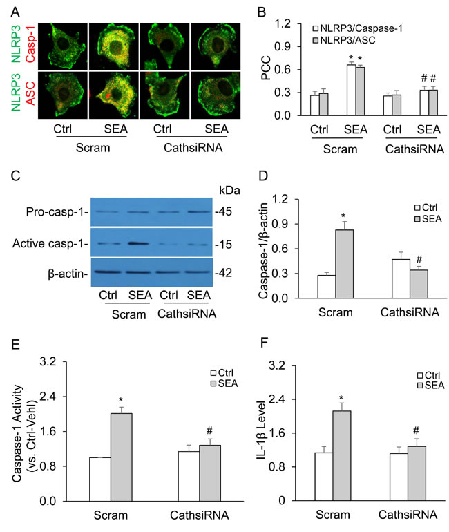 Cathepsin B gene silencing inhibited SEA-induced NLRP3 inflammasome activation in HSCs.