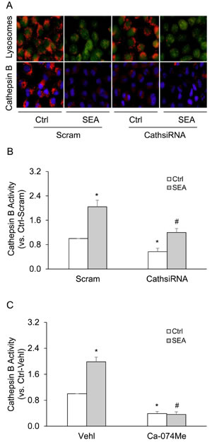 SEA stimulation increased lysosome membrane permeability, subsequent cathepsin B release and activity in HSCs.