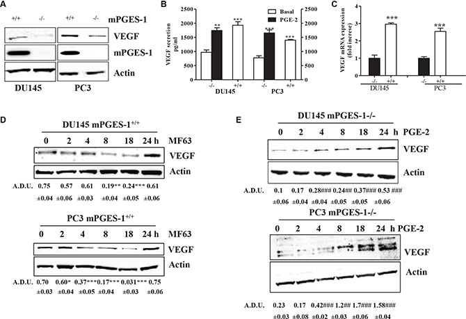 mPGES-1 increases VEGF expression.