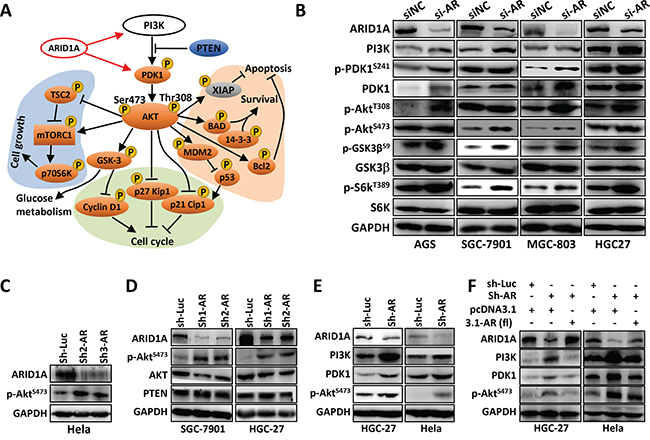 Loss of ARID1A Activates ANXA1, which Serves as a