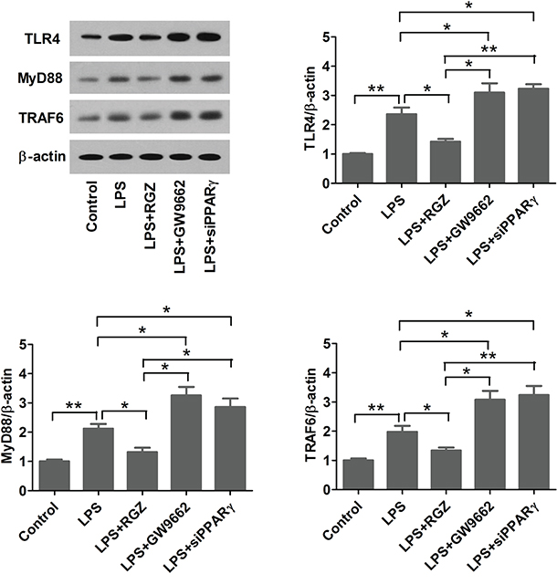 PPARγ agonist inhibits LPS-induced TLR4 activation.