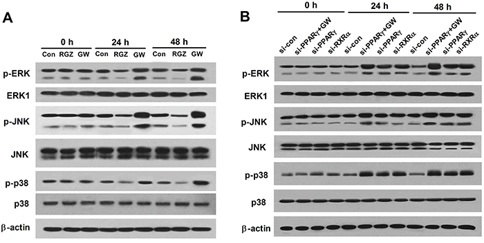 PPARγ agonist inhibits the MAPK pathway in esophageal cancer cells.