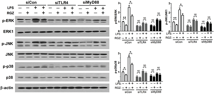 Inhibition of MAPK pathway by PPARγ agonist requires TLR4.