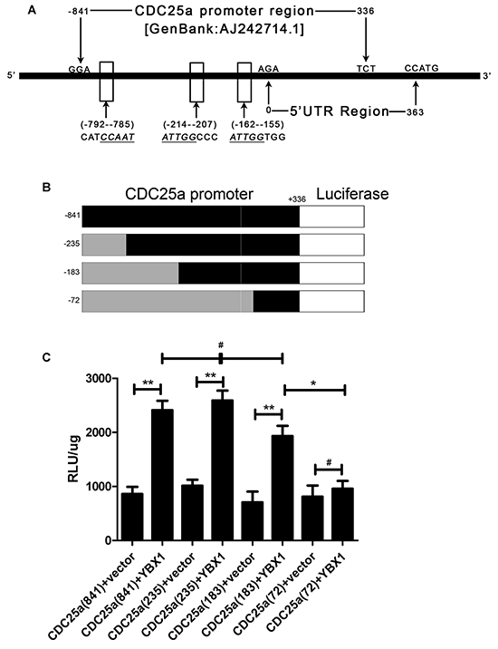 YBX1 bound to CDC25a promoter region and positively regulated its transcriptional activation in lung adenocarcinoma cells.
