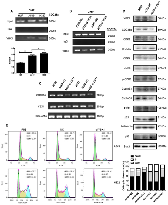 YBX1 knockdown inhibited the expression of CDC25a and changed its downstream in G1/S checkpoint pathway.