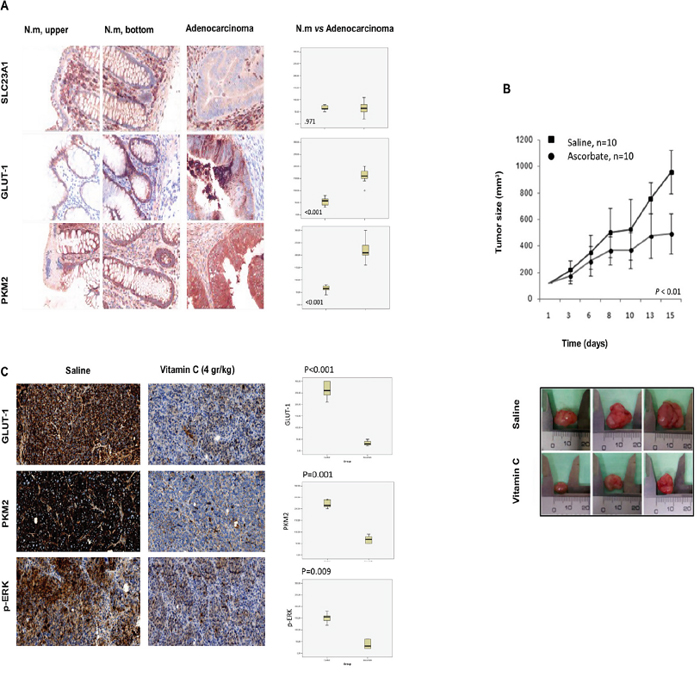Vitamin C inhibits tumor growth in SW480 xenografts generated in athymic nude mice Foxn1nu though downregulation of GLUT-1, p-ERK and PKM2.