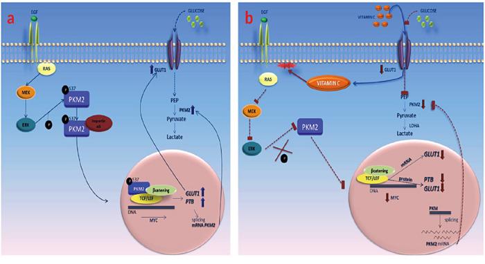 Vitamin C impairs the Warburg effect in KRAS mutant cells through downregulation of GLUT-1 and PKM2.