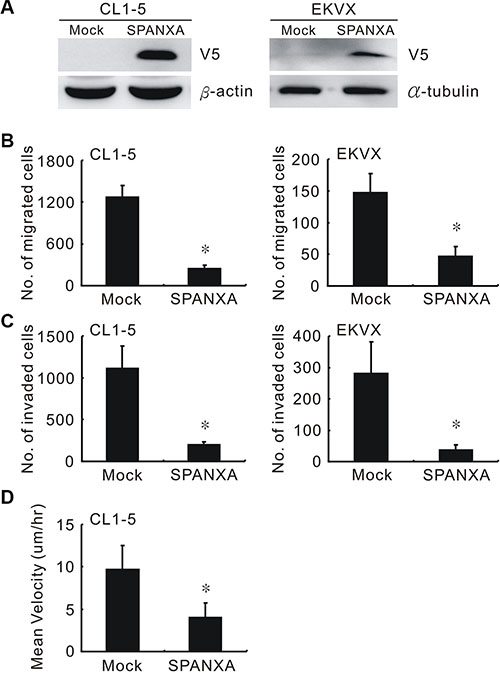SPANXA suppresses cell migration and invasion.