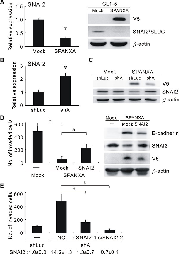 SPANXA represses cell invasion through deregulating SNAI2.