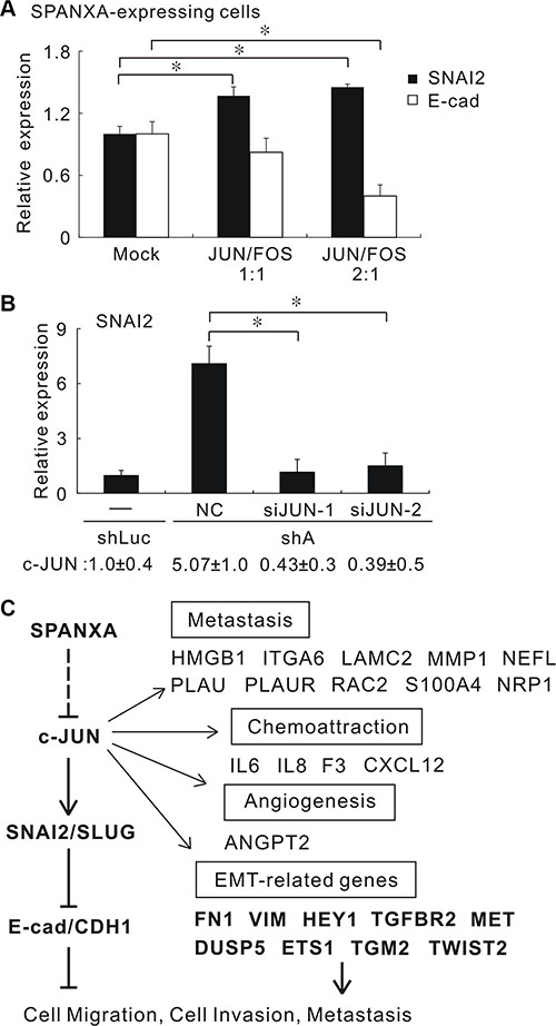 SPANXA suppresses SNAI2 expression and EMT through repressing c-JUN.