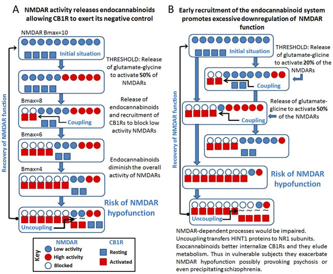 Cross-regulation between excitatory glutamate NMDAR signaling and the endocannabinoid system: Implications in psychosis and schizophrenia.