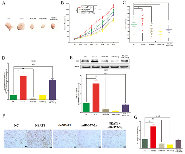 NEAT1 promotes NSCLC cell growth in vivo by inhibiting miR-377-3p/E2F3 axis.