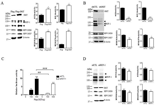 OGT regulates O-GlcNAcylation of HCF-1, and transcriptional activity of E6 and E7 in cervical cancer cells.