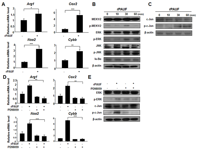 PAUF upregulates immunosuppressive effectors through the ERK signaling cascade in MDSCs.