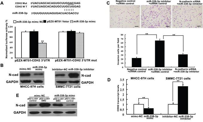miR-338-3p directly and indirectly regulates the expression of N-cadherin.