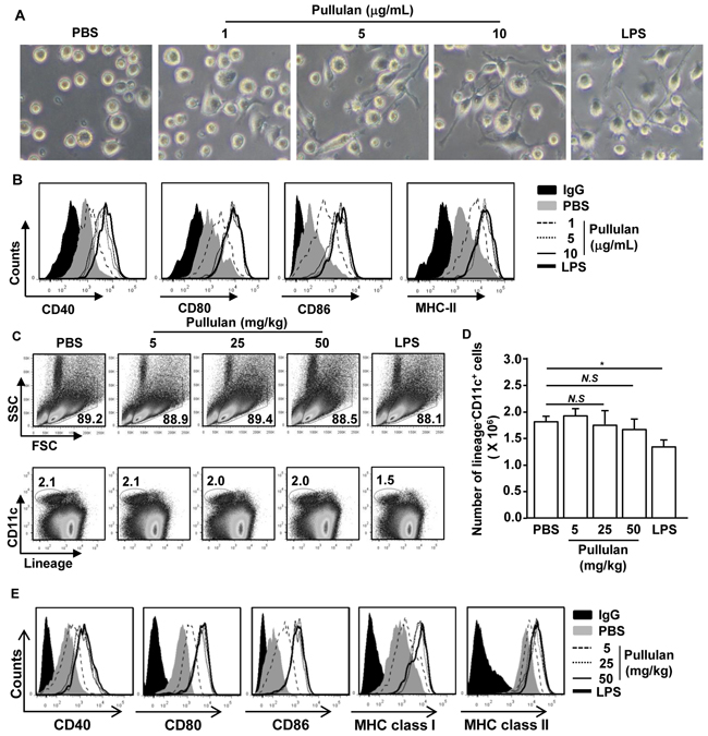 Pullulan induces activation of BMDCs and spleen DCs.
