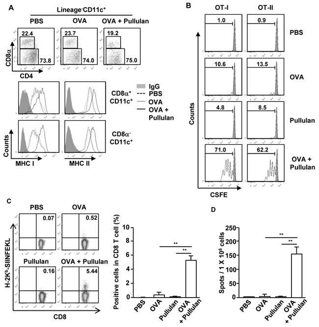 Pullulan promotes antigen presentation and antigen-specific T cell proliferation in vivo.