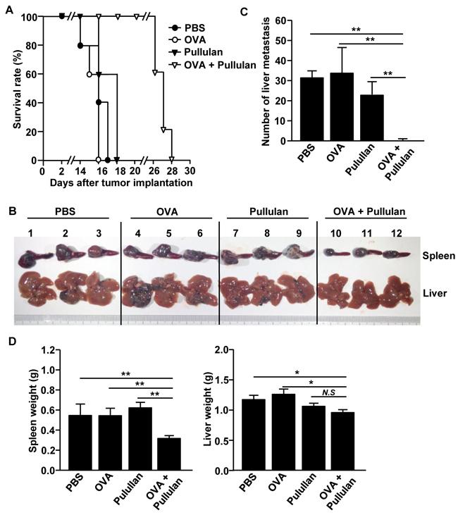 Combination of OVA and pullulan prevent metastasis of B16-OVA melanoma cells into liver.