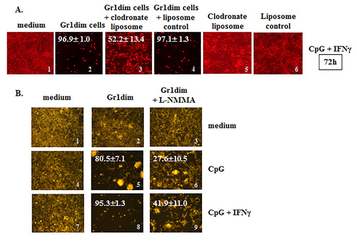 Isolated tumoricidal Gr1dim cells from CY+CpG-treated mice are NO-producing phagocytes.