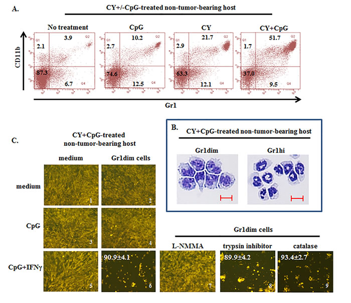 Induction of tumoricidal CD11b+Gr1dim cells in non-tumor-bearing mice by CY+CpG treatment.