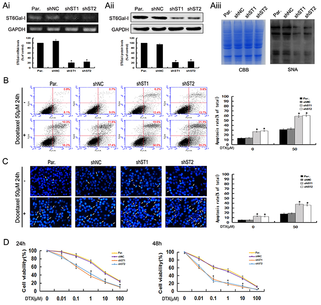 ST6Gal-I knockdown induces apoptosis and increases the sensitivity of MHCC97-H cells to docetaxel.