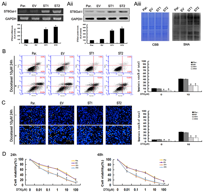 Upregulation of ST6Gal-I increases the survival rate of Huh7 cells and protects Huh7 cells from docetaxel-induced apoptosis.