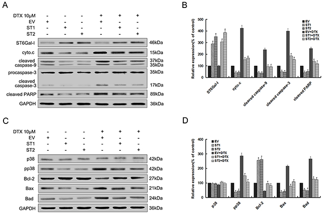 Upregulation of ST6Gal-I protects Huh7 cells from docetaxel-induced apoptosis through inhibition of p38 MAPK mediated mitochondrial-dependent pathway.