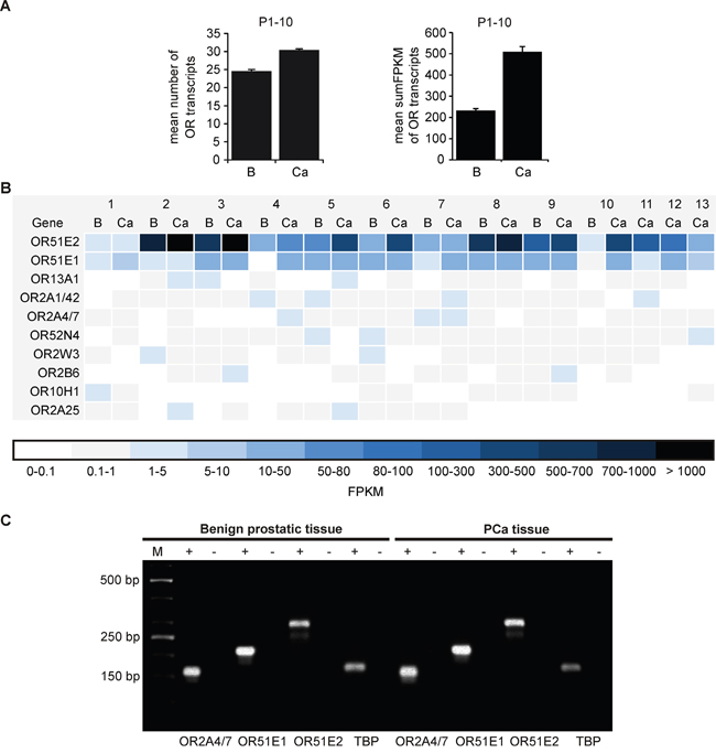 Oncotarget | The activation of OR51E1 causes growth