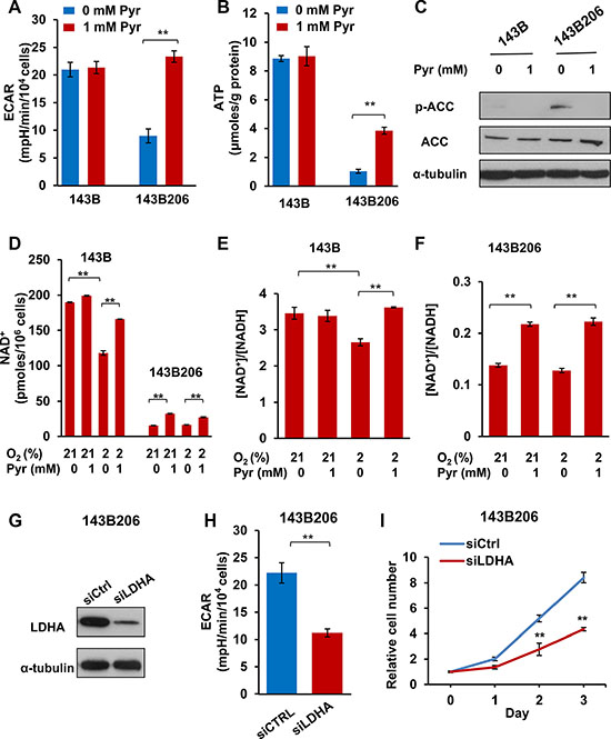 Exogenous pyruvate relieves NAD+ depletion and glycolysis inhibition.