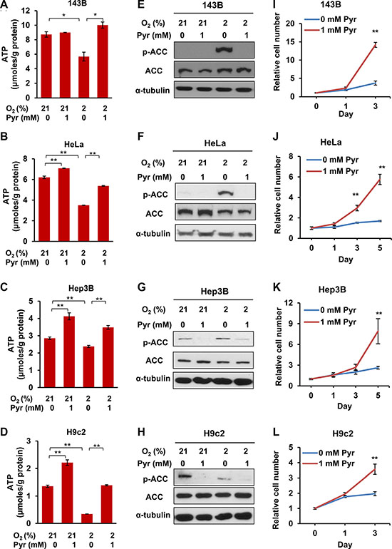 Exogenous pyruvate relieves ATP depletion and sustains the proliferation of both cancer and non-cancer cells under hypoxia.