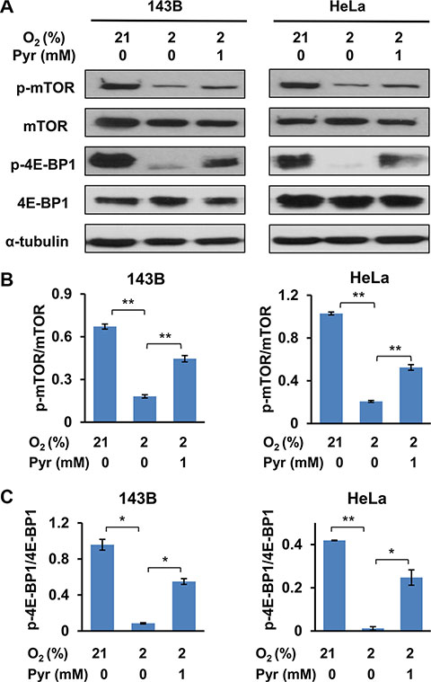 Exogenous pyruvate relieves inhibition of mTOR by hypoxia.