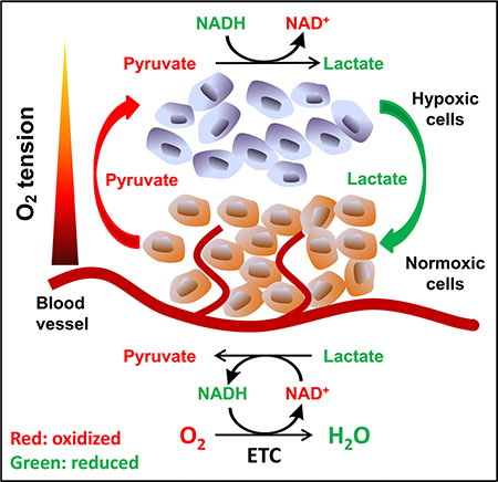 Proposed model of pyruvate cycle.
