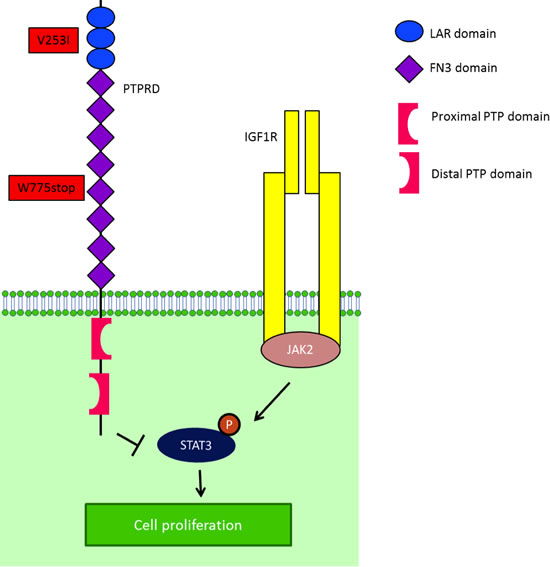 IGF-1R is one of the mediators of STAT3 activity.
