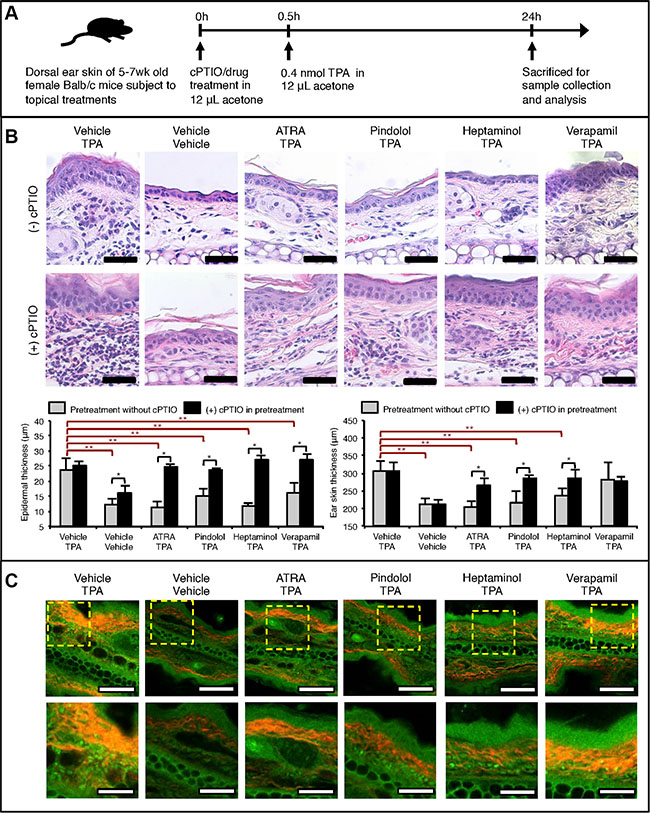 NO-dependent drug pretreatment effects against acute TPA-induced inflammatory skin changes in Balb/c mouse ear skin.