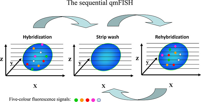 Schematic of the sequential qmFISH strategy.
