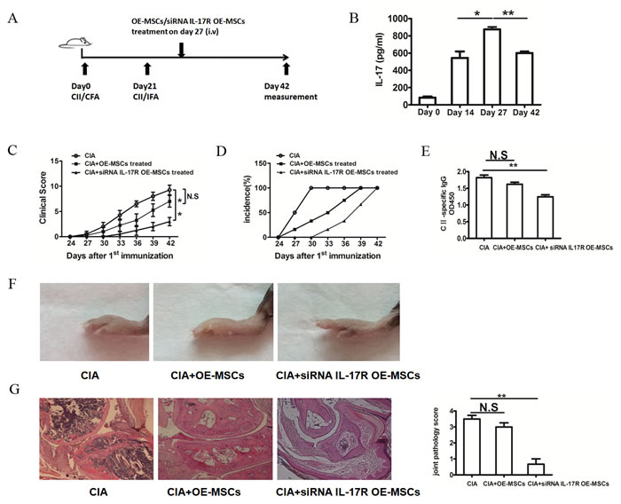 IL-17R knockdown OE-MSCs efficiently ameliorates the development of CIA.