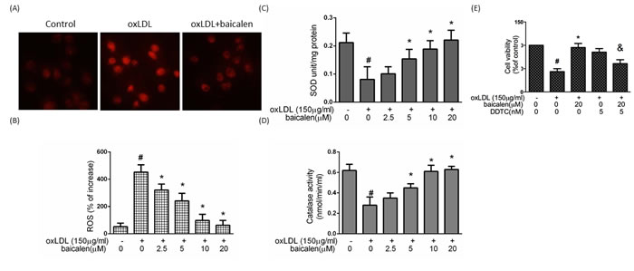 The protective effects of baicalein on oxLDL-mediated ROS generation in HUVECs.