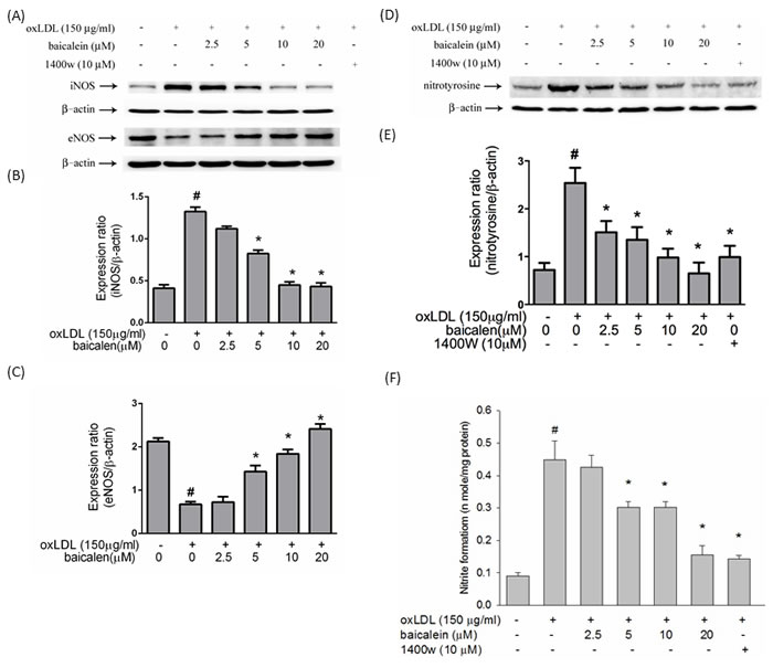 Effects of baicalein on oxLDL up-regulated iNOS, down-regulated eNOS, nitrotyrosine protein expression and oxLDL-enhanced nitrite accumulation.