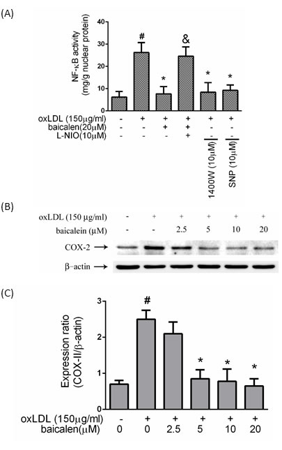Effects of baicalein on oxLDL-induced NF-κB activation.