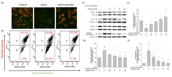 Effect of baicalein on mitochondrial transmembrane permeability transition and apoptosis.