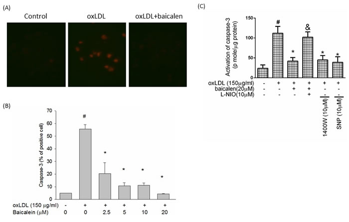 Effects of baicalein on oxLDL-induced caspase 3 activation.